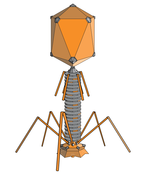 The lambda phage is a bacteriophage with a head, tail and fibrils. © adenosine, Wikimedia, CC by-sa 3.0