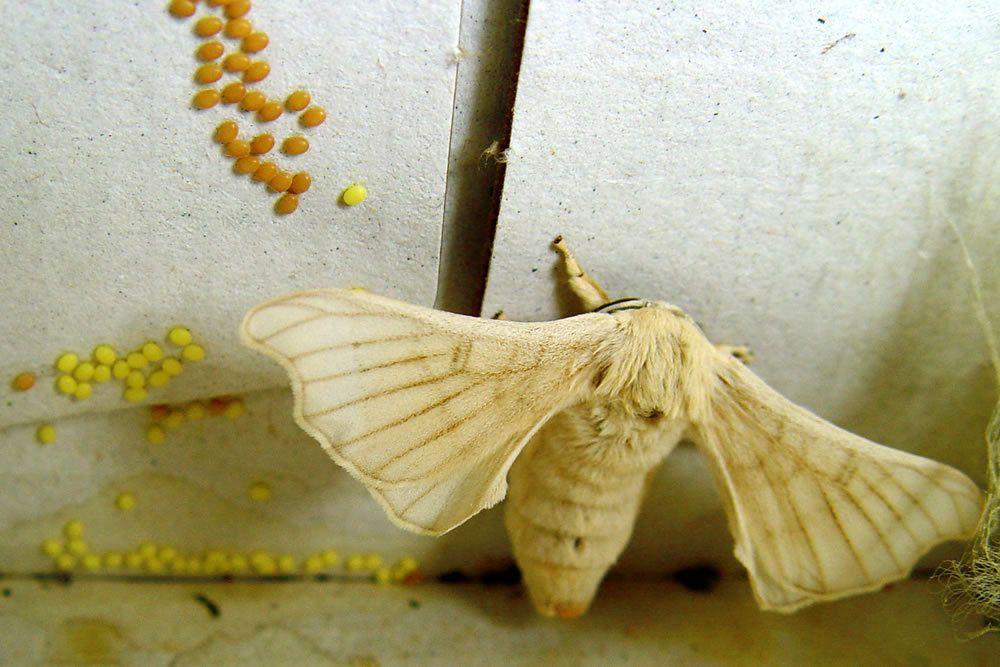 Silkworm. © Fernando Cuenca Romero, Flickr CC by nc-sa 3.0