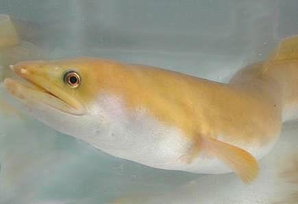 African longfin eel. © ARDA
