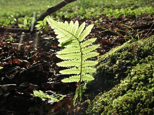 The chlorophyl-containing frond of a fern, the support for its photoautotrophism. © Zigar CC by-nd