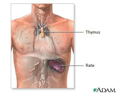 The thymus is the place where T lymphocytes mature. © Adam