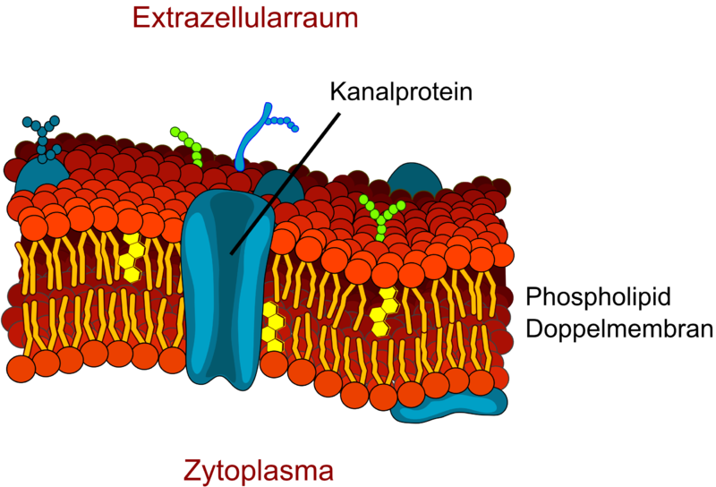 One example of a transporter protein: the canal protein. © LadyofHats, modified by Armin Kübelbeck, Wikimedia CC by 3.0