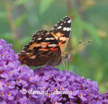 The butterfly is an insect that undergoes complete metamorphosis. © Bernard Schmeltz
