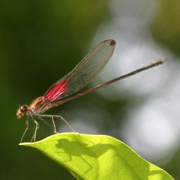 A damselfly of the species Hetaerina occisa with its wings folded. © UCLA