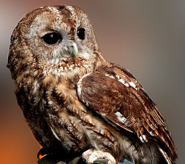 The large eyes of owls are adapted to a nocturnal lifestyle. © giopuo CC by-sa 2.0
