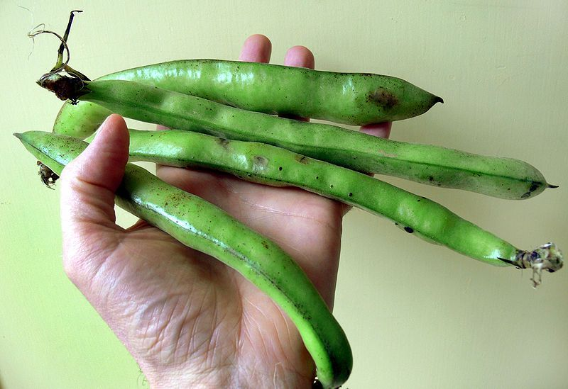 Broad bean seeds are enclosed in pods. © Lamiot/Licence Creative Commons