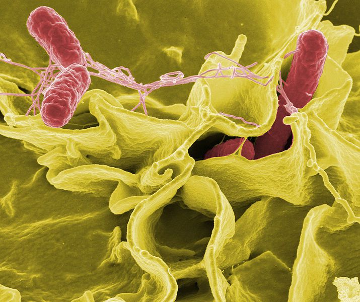 Salmonella is a pathogenic bacterium responsible for salmonellosis and typhoid fever. © DR