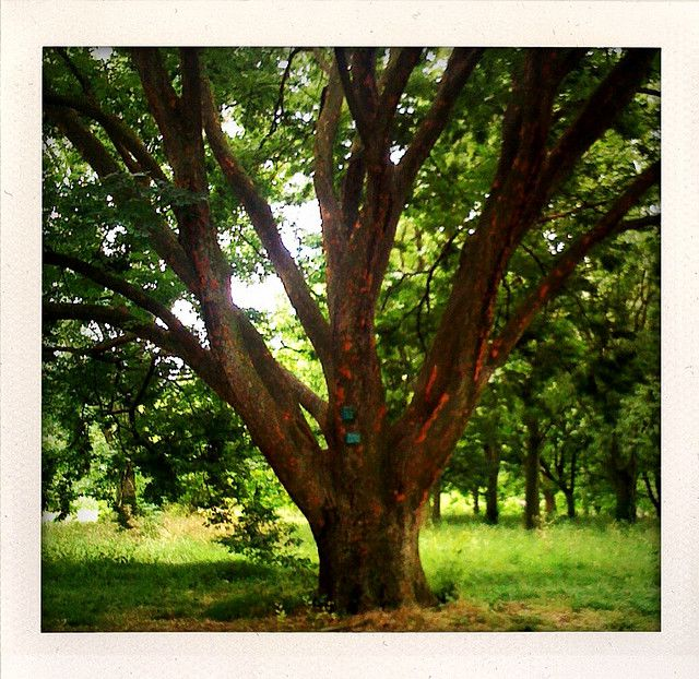 Caucasian elm. © Martin Menu-Flickr nc 20