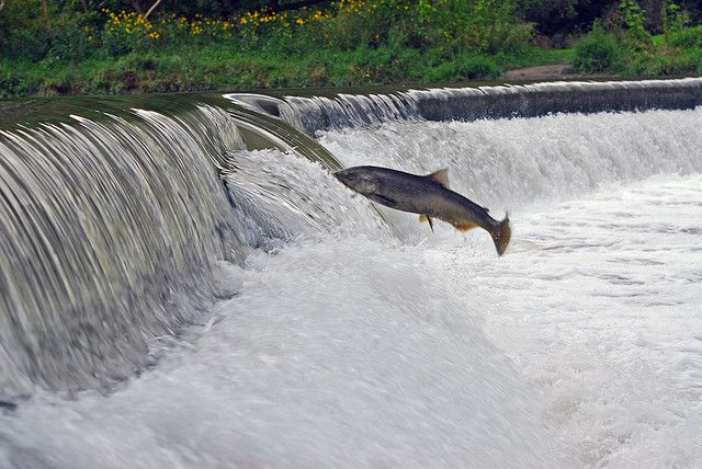 The anadromous salmon swims up rivers to reproduce. © ZaNiaC, Flickr, cc by nc sa 2.0