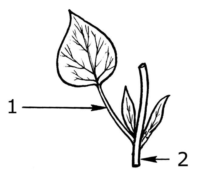The petiole (1) connects the leaf to the stem (2). © Pearson Scott Foresman, Wikimedia public domain