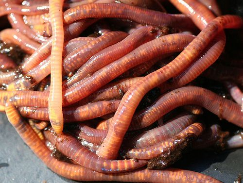 Vermiculture is the intensive farming of earthworms. ©  Sparrows' Friend, Flickr, CC BY-NS-ND 2.0