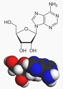 Adenosine is adenine bound to a ribose. © Wikimedia, public domain