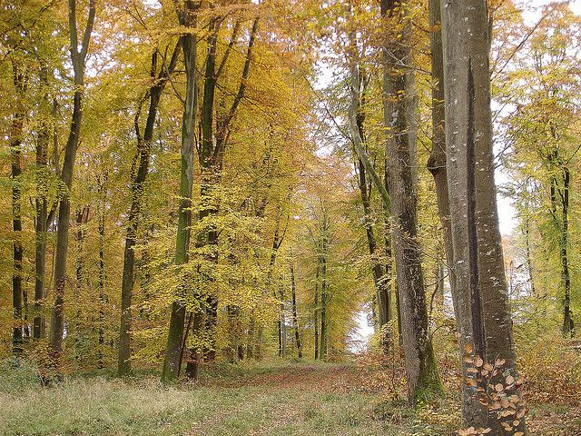 A deciduous temperate forest in autumn: tree leaves change colour and get ready to fall. © Pencroff CC by-nc-sa 2.0