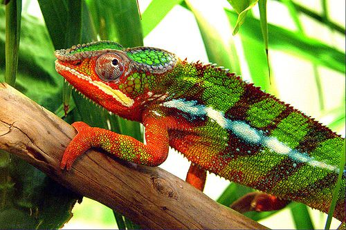 It is the chameleon's chromatophores which give it its amazing capacity for camouflage. © Today is a good day CC by-nc-nd 2.0