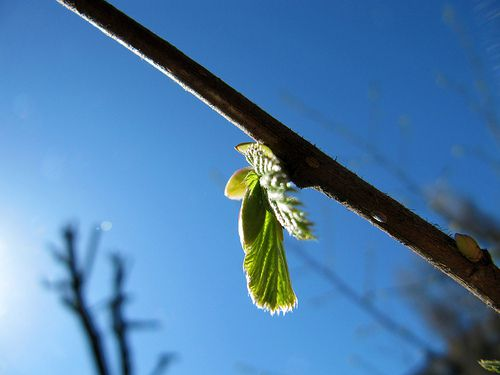 The caulinary buds of this branch are opening. © notfrancois CC by 2.0