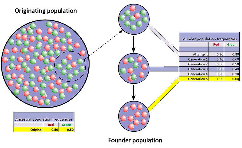 Example of genetic drift between two alleles (red and green) following the foundation of a new population. © Professor Marginalia, Wikimedia CC by-sa 3.0