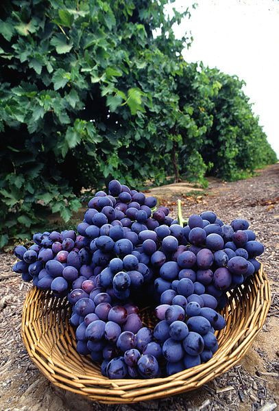 The red grape grows on vine stocks that are harvested in autumn. © DR