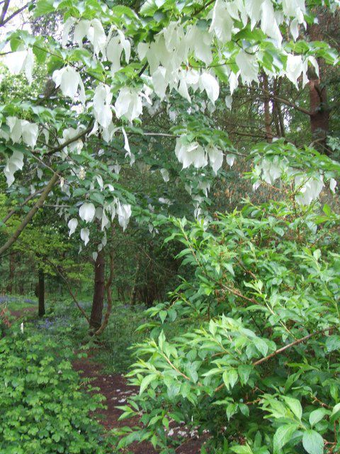 The handkerchief tree is also called the dove tree. © Alice H Myers, Geograph CC by sa 3.0