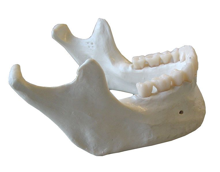 The mandible is one of the two jaw bones. © Dake, Wikimedia, CC by-sa 2.5