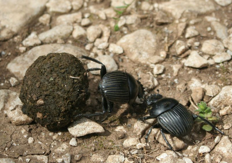 The dung beetle is a coprophagous beetle. © Rafael Brix, Wikipedia, cc by sa 3.0