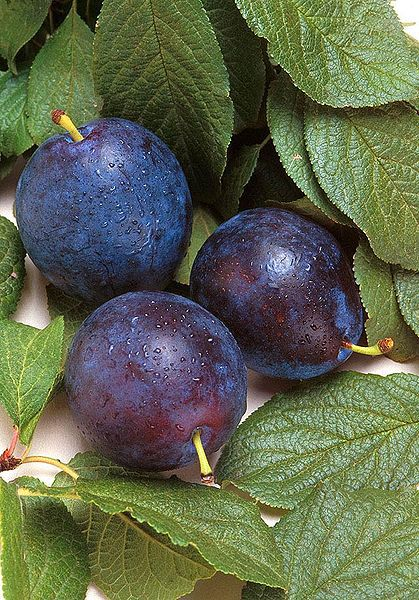 The Damson plum is a plum variety eaten in late summer. © DR
