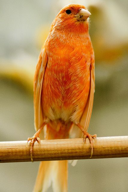 The canary is a granivorous bird. © Luisus Rasilvi, Flickr, cc by nc sa 2.0