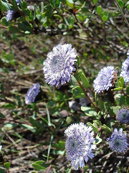 A globular flower. © Jeantosti, Wikipedia CC by sa 3.0