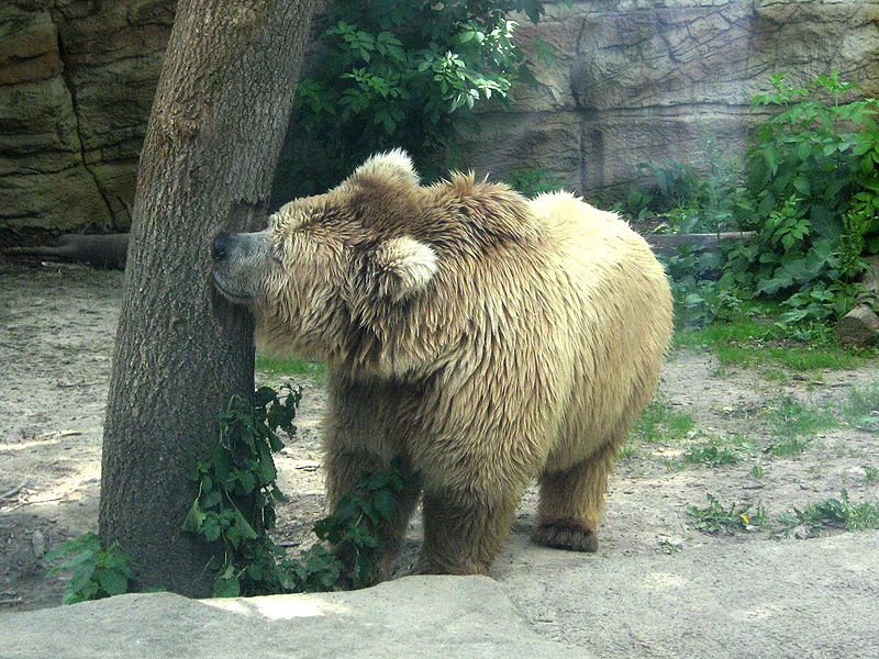 Photo of a Himalayan brown bear. © DoroshenkoE, public domain
