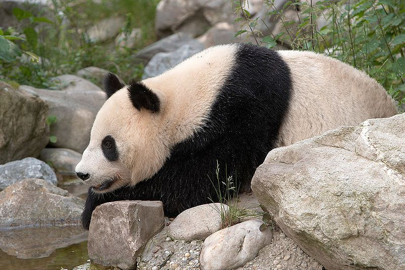 Photo of a giant panda. © Werner Hölzl, GNU Free Documentation License, version 1.2