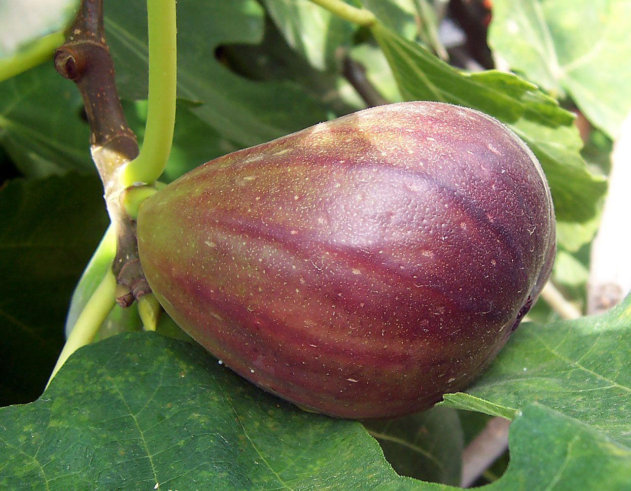 The fig is a typically Mediterranean fruit that is rich in minerals. © Wikimedia Commons