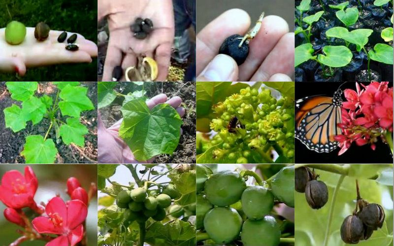 All the stages of growth of Jatropha Curcas. © Licence Commons