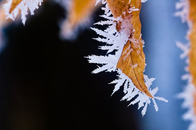 Crystals of hoar frost on a dead leaf. © Fiedeldey CC by-nc-nd 2.0