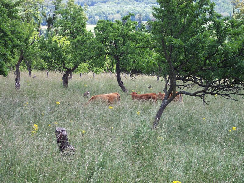 Red cows in an orchard, an example of traditional agroforestry. © TitTornade CC by-sa