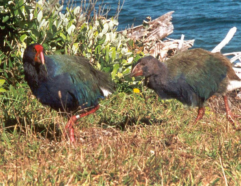 The takahe is a species previously thought to have disappeared. © Sabine's Sunbird, Wikipedia