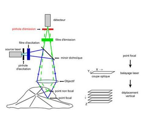 Diagram of a confocal laser scanning microscope.