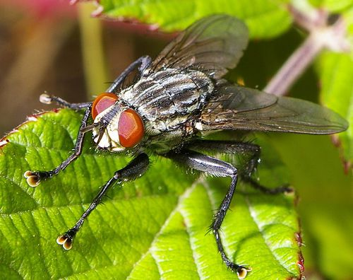 The two brown sacks on the end of the limbs of this fly are the pulvilli, which allow the fly to walk on the walls. © Max xx CC by-nc-sa 2.0