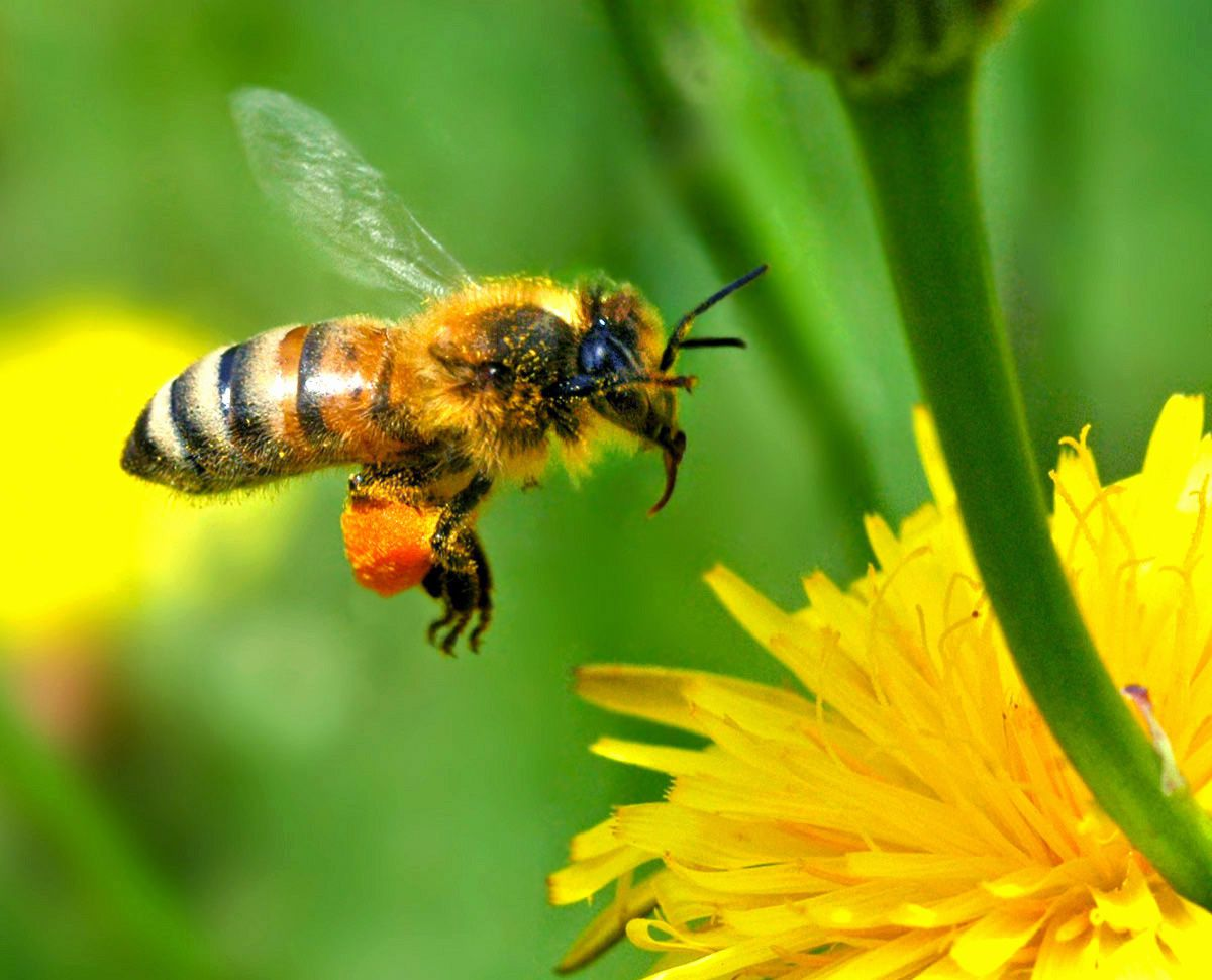 Nectariferous plants are the foundation of pollination. © DR