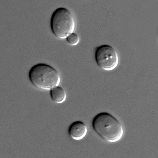 The yeast Saccharomyces cerevisiae is a model organism used to study eukaryotes overall. © Masur, Wikimedia, public domain