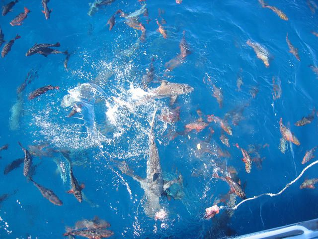 Shark feeding activities can take place underwater during free or cage dives, or even from a boat, as shown here in New Caledonia. © PedroGilberto.net, CC by-nc-sa 2.0