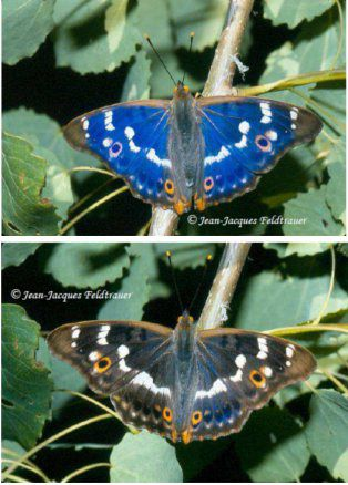 The wings of some butterflies change colour: this is iridescence. Here, a single lesser purple emperor photographed from different angles. © Jean-Jacques Feldtrauer
