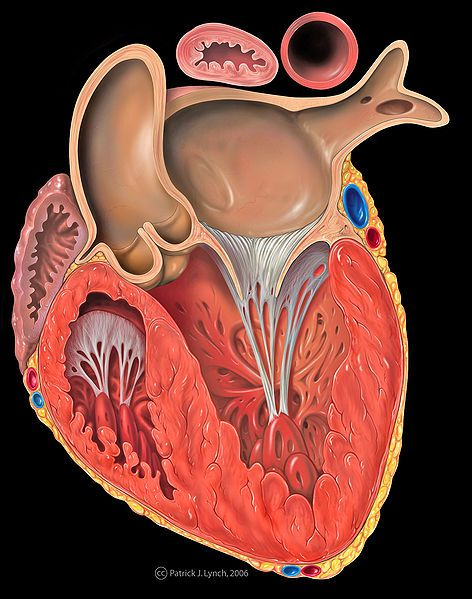 The myocardium is the muscle that enables the heart to beat. © Patrick Lynch / Licence Creative Commons