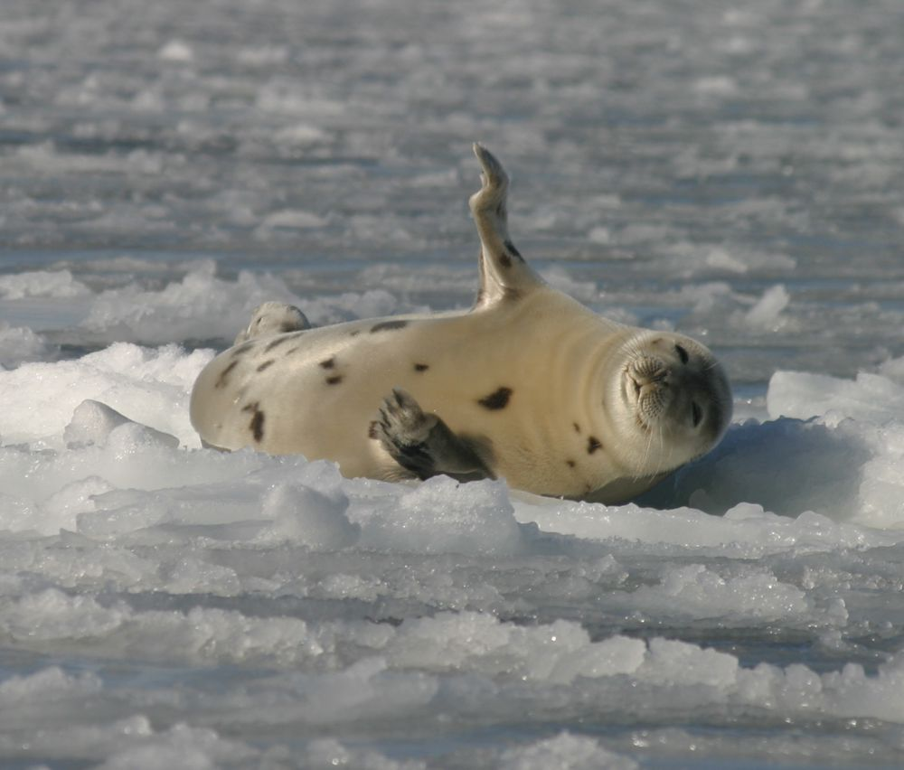 The harp seal (Pagophilus groenlandicus) is classified as a carnivore due to its diet and the fact that it belongs to the order of carnivores. © Gale CC by-nc-nd 2.0