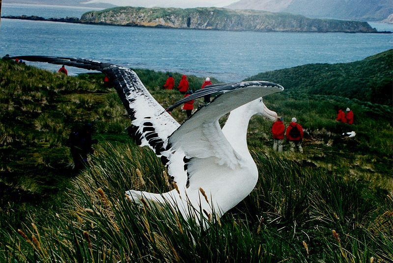 Photo of a wandering albatross. © Mila Zinkova, GNU FDL Version 1.2