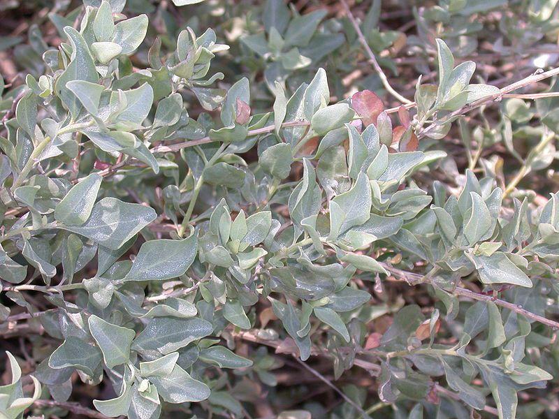 The foliage of the limoniastrum (Limoniastrum sp.) is sea-green. © Franco Christophe, Wikimedia CC by-sa 3.0