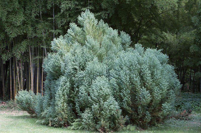 Japanese cedar (Cryptomeria japonica Elegans) in the Bambouseraie de Prafance (Gard, France). © Georges Seguin (Okki) GNU Free Documentation License, Version 1.2
