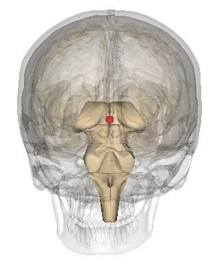 The epiphysis is located behind the mesencephalon. © Life Science Databases, Wikimedia, CC by-sa 2.1
