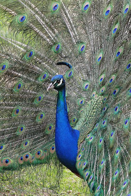 Sexual selection at work in a peacock's mating ritual. © Ethan Hein CC by-nc-sa 2.0