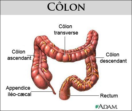 The colon or large bowel is the last part of the gastrointestinal tract. © www.health.allrefer.com