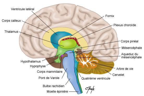 The brain is the organ in the central nervous system that regulates all vital functions. © www.colvir.net