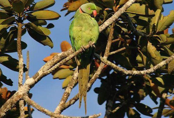 Mauritius parakeet. © Damien Fouillot / SEOR
